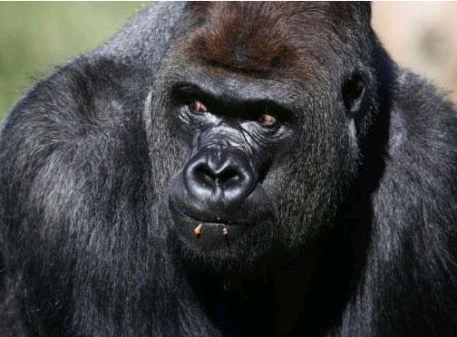 Kaçan goril